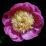 close-up photo of peony flower