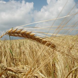 What Is Gluten Cross-Reactivity?